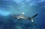 Requin Longimanus