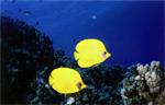 poissons papillon